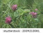 Clover Flowers Field....