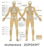 a diagram of the human skeleton.... | Shutterstock .eps vector #203934397