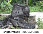 Burned Bark Of A Tree  Stump...