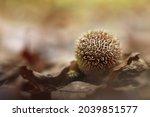 Lycoperdon Echinatum  Commonly...