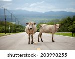 Two Cow On The Road