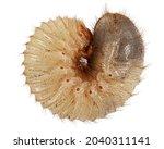 May beetle larvas  lat....