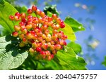 Viburnum Berries And Leaves Of...
