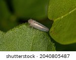 Adult Sharpshooter Insect of the Subfamily Cicadellinae