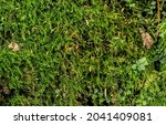 fine green moss  growing in... | Shutterstock . vector #2041409081