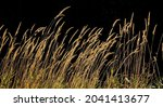 Straw Marsh Reeds Backlit By...