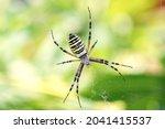 The Female Spider Argiope...