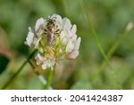 Back Of Bee On White Clover
