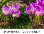 Fresh Purple Crocus Flowers...