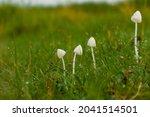 Milky White Mushrooms In The...