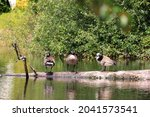 A Couple Of Canadian Geese...