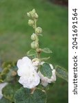 White Double Alcea Rosea Blooms ...