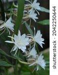 Wijayakusuma  Epiphyllum...