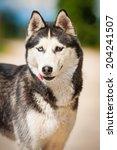 Portrait Of Siberian Husky With ...