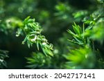 Super Macro Green Plant With A...