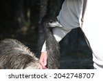 The Ostrich Cub Is Brave  Goes...