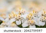 common yarrow   achillea... | Shutterstock . vector #2042759597