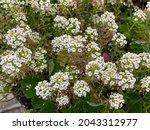 White Alyssum Also Known As...