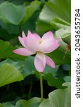 Closeup Of Pink Lotus Blossom...