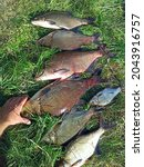 Breames Of Different Sizes On...