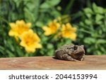 Texas Toad Anaxyrus Speciosus...