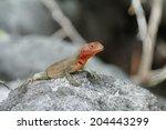 Galapagos Lava Lizard ...