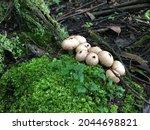 Puffball Mushrooms In The...