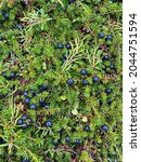 Small photo of Crowberry in taiga, the Pacific coast of Russia