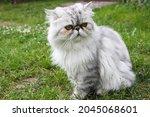 Persian Cat With Orange Eyes...