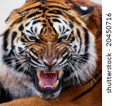 close up of a tiger's face with ... | Shutterstock . vector #20450716