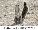 Cape Ground Squirrel Or South...