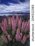 ������, ������: Spring Lupins lupinus polyphyllus