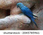 Profile Of The Lear's Macaw ...