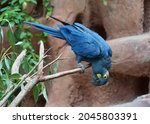 The Lear's Macaw  Also Known As ...