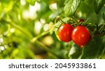 Ripe Red Tomatoes Growing On A...