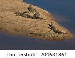 Crocodiles Sunbathing On The...