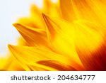 Sunflower Petals Macro Close U...