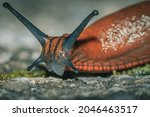 A Macro Shot Of A Red Slug ...