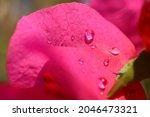 Raindrops Touching A Pink...