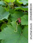 Pretty pink vine tendril in...