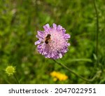 A Worker Bee On A Bright Purple ...