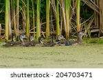 Female Wood Duck Swimming With...