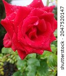 Bright Red Rose That Has Just...