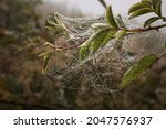 Closeup View Of Cobweb With Dew ...