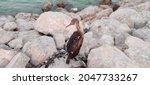 Socotra Cormorant Species Of...