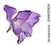 single violet gladiolus flower... | Shutterstock . vector #2048055854