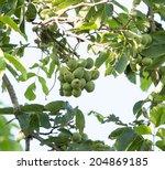 Walnut On A Tree Branch