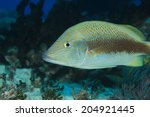 White grunt fish (Haemulon plumieris) underwater in the tropical waters of the caribbean sea - stock photo