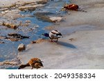 Wild Duck On Dirty Gray Ice...