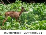 Young Nyala Antelope ...